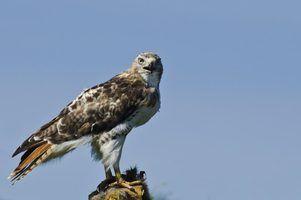 Espécies de falcão na califórnia