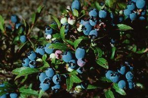 Adubo caseiro para blueberries
