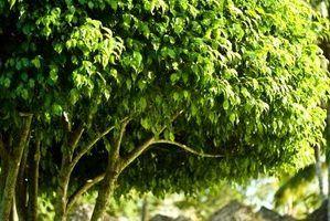 Plantas de casa que se parecem com pequenas árvores ou com bases talo