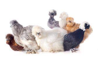 Como faço para saber a diferença entre uma galinha e um galo da galinha silkie?