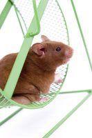 Quão difícil é hamsters para cuidar?