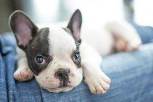 Quanto é que o custo médio de cachorro dentro do primeiro ano?