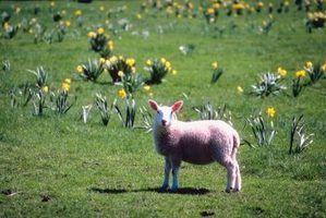 Quanto feno que uma ovelha precisa?