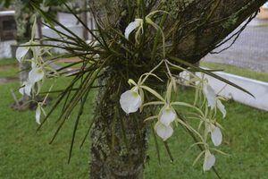 Como anexar orquídeas para árvores