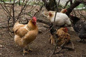 Como produzir aves de corte