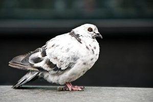 Como raça pombos