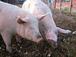 Como raça porcas após o parto