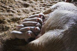 Como calcular um período de gestação de suínos