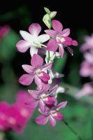 Como cuidar de uma orquídea roxa