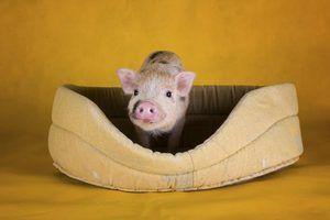 Como cuidar de porcos inchado-pot