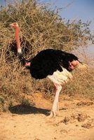Como cozinhar bifes de avestruz