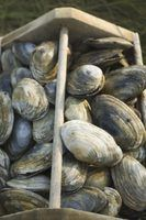 Como limpar moluscos e ostras conchas encontradas em uma praia
