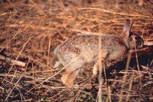 Como saber quantos anos um coelho selvagem é?