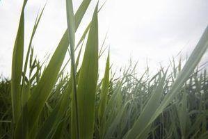 Fertilizar a cada oito a 10 semanas para a grama forte, saudável.