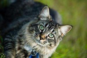 Como corrigir cabelos emaranhados em um velho gato