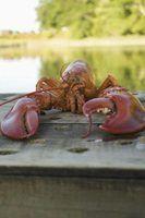 Como congelar carne de lagosta cozida