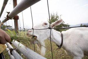 Como dar sulfato de cobre para cabras