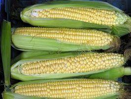 Como crescer milho doce na Nova Zelândia