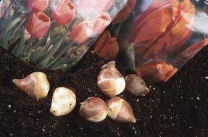 Como a crescer tulipas em água