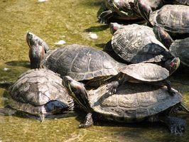Como identificar as tartarugas de Louisiana