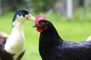 Como manter uma galinha e pato pena de cheiro