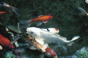 Como manter as algas fora de pequenos lagos com peixes