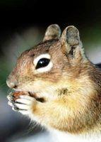 esquilos arruinar jardins com seus hábitos Buraqueira e alimentação.