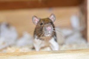 Como manter seu rato morno durante o inverno