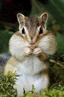 Usar maquiagem para criar o nariz esquilo e bigodes.