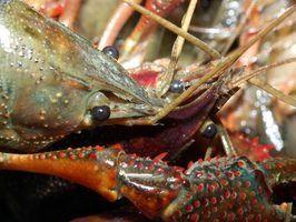 Como fazer uma lagoa lagosta