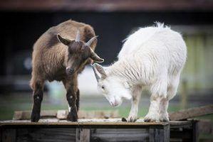 Como fazer um playground de cabra