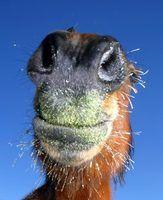 Como fazer uma bola de tratamento caseiro para cavalos