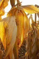 Como fazer sementes de milho