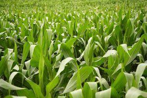 Como plantar milho veados