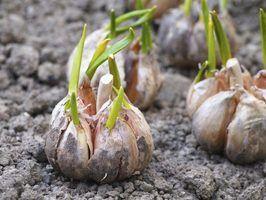 Como plantar alho na geórgia