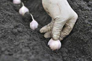 Como plantar alho em Ohio