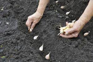 Como plantar alho na zona de cinco