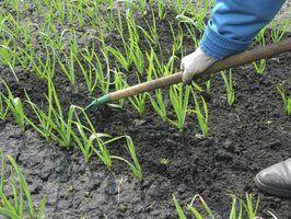Como plantar e cultivar alho em Oregon
