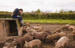 Como criar porcos de alimentação para comer