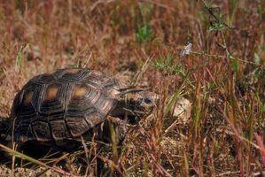 Uma tartaruga`s shell is vitally important to its health.