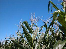 Como para pulverizar milho fertilizante líquido