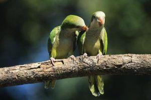 Como dizer a um conure cheeked verde macho de uma fêmea