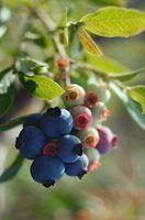 Como saber blueberries estão maduras
