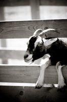 Como amarrar um nó para amarrar cabra