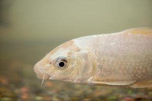 Como tratar a podridão em peixes koi
