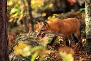 apitos Fox são eficazes em trazer uma raposa sair do esconderijo.