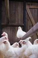 Variedades híbridas de galinhas