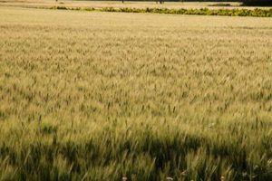 Variedades híbridas de trigo
