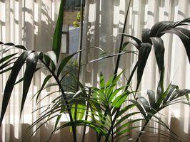 Doenças de palmeiras indoor