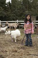 Complicações caçoar para cabras pigmeus